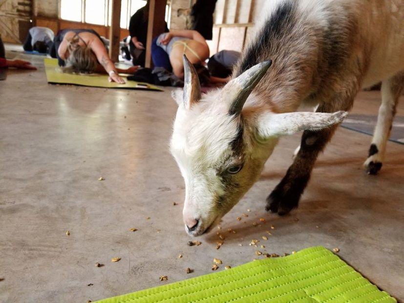 Goat eating food from floor
