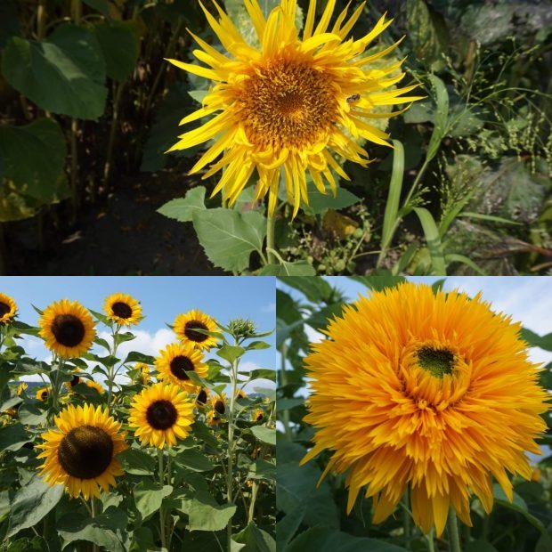 Lakeland Sunflower Festival