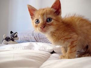 vancouver pet adoption kitten
