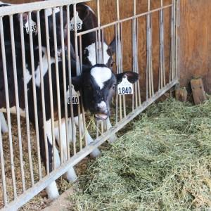 eat local olympic dairy yogurt organic cow calf